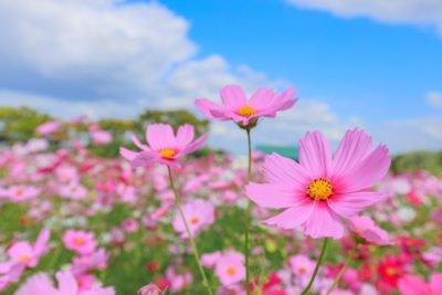 ハーベストの丘 コスモス 開花時期